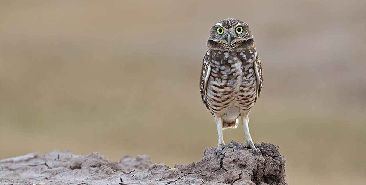 Otay Water District Rehabilitates Burrowing Owl Habitat to Conserve and Protect Owls and Their Environment